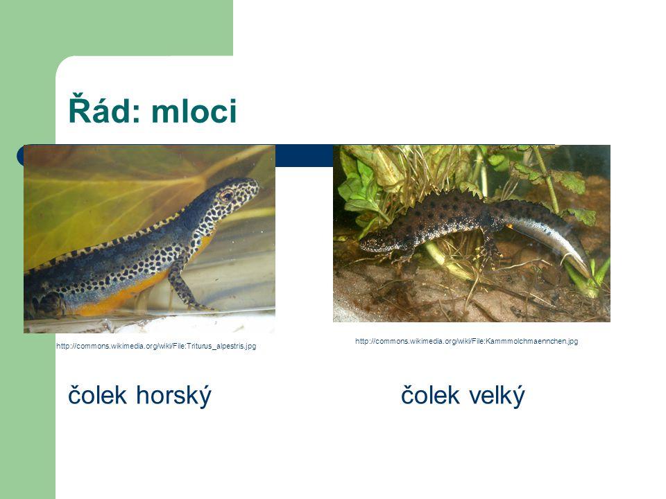 Řád: mloci čolek horskýčolek velký http://commons.wikimedia.org/wiki/File:Triturus_alpestris.jpg http://commons.wikimedia.org/wiki/File:Kammmolchmaenn