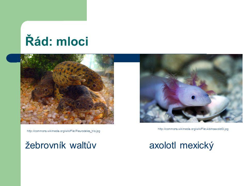Řád: mloci žebrovník waltůvaxolotl mexický http://commons.wikimedia.org/wiki/File:Pleurodeles_trio.jpg http://commons.wikimedia.org/wiki/File:Albinoax