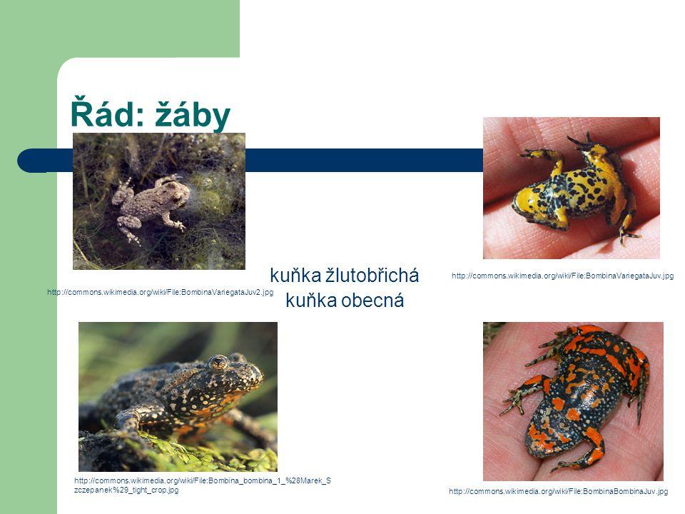 Řád: žáby kuňka žlutobřichá kuňka obecná http://commons.wikimedia.org/wiki/File:BombinaVariegataJuv.jpg http://commons.wikimedia.org/wiki/File:Bombina