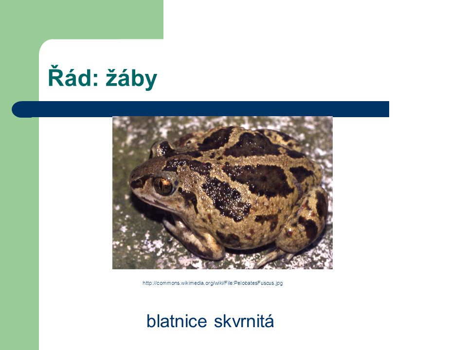 Řád: žáby blatnice skvrnitá http://commons.wikimedia.org/wiki/File:PelobatesFuscus.jpg