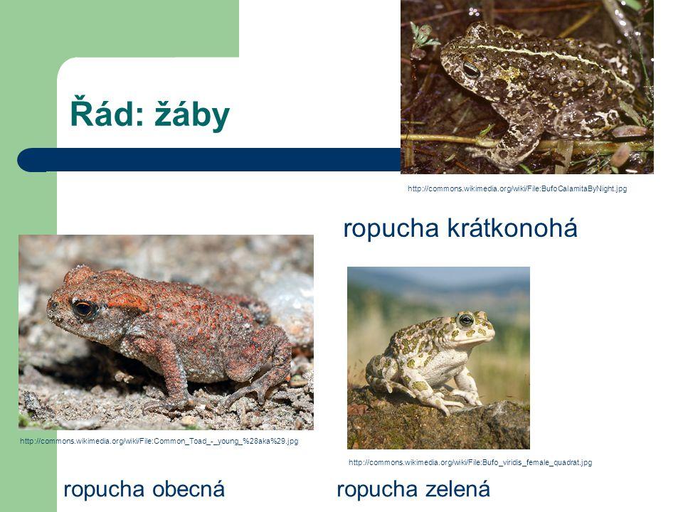 Řád: žáby ropucha obecnáropucha zelená ropucha krátkonohá http://commons.wikimedia.org/wiki/File:Bufo_viridis_female_quadrat.jpg http://commons.wikime