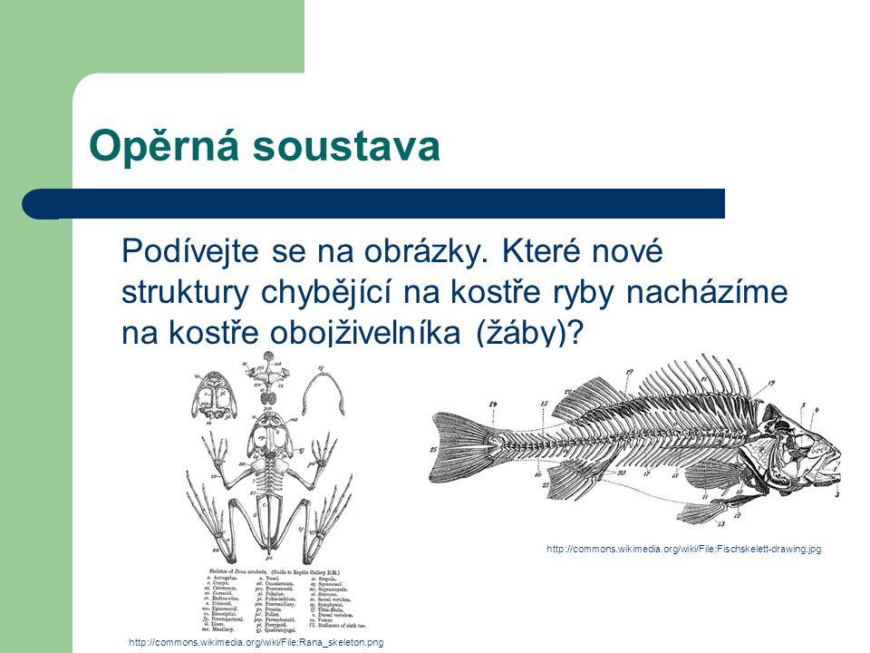 Opěrná soustava Podívejte se na obrázky. Které nové struktury chybějící na kostře ryby nacházíme na kostře obojživelníka (žáby)? http://commons.wikime