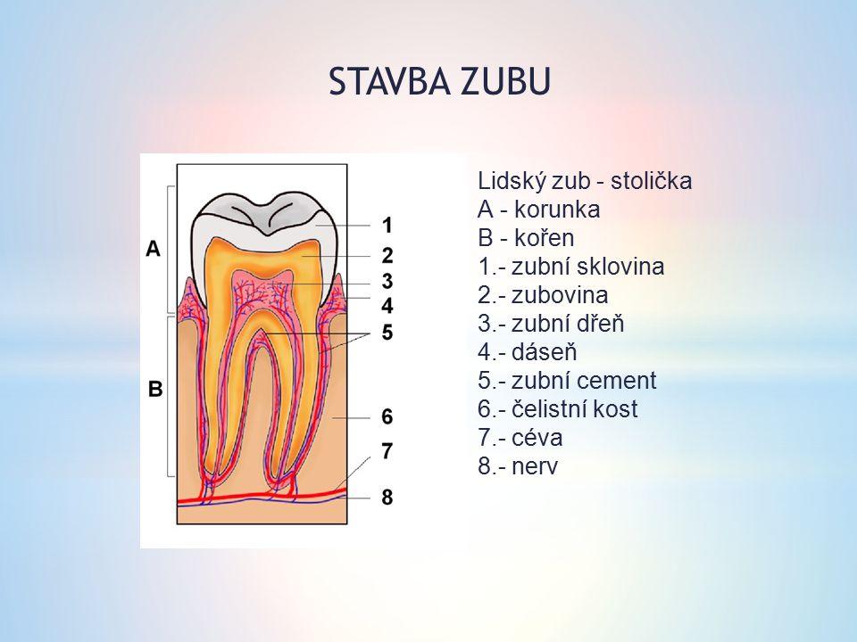 Lidský zub - stolička A - korunka B - kořen 1.- zubní sklovina 2.- zubovina 3.- zubní dřeň 4.- dáseň 5.- zubní cement 6.- čelistní kost 7.- céva 8.- n
