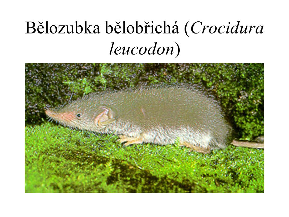 Bělozubka bělobřichá (Crocidura leucodon)