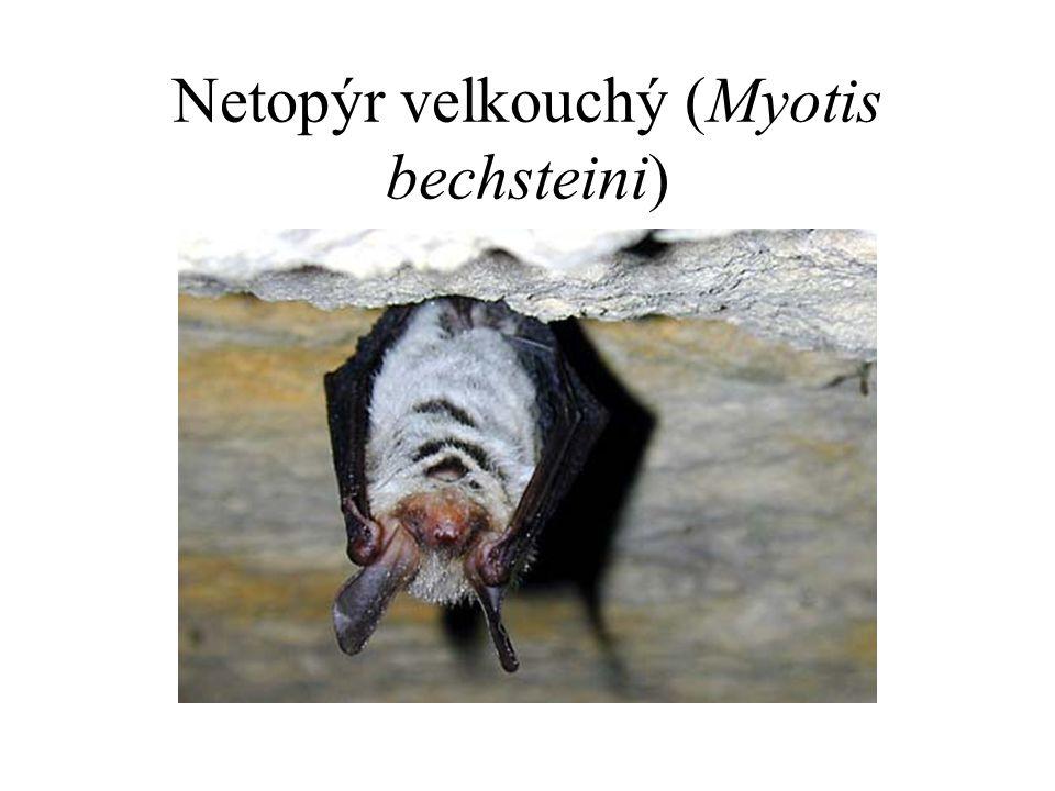 Netopýr velkouchý (Myotis bechsteini)