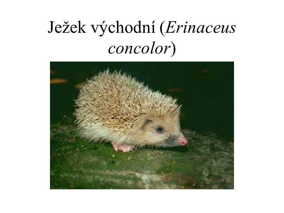 Ježek východní (Erinaceus concolor)