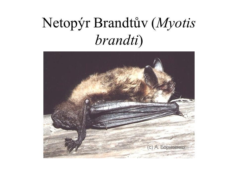 Netopýr Brandtův (Myotis brandti)