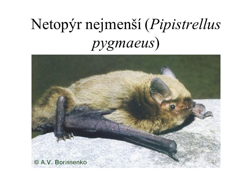 Netopýr nejmenší (Pipistrellus pygmaeus)