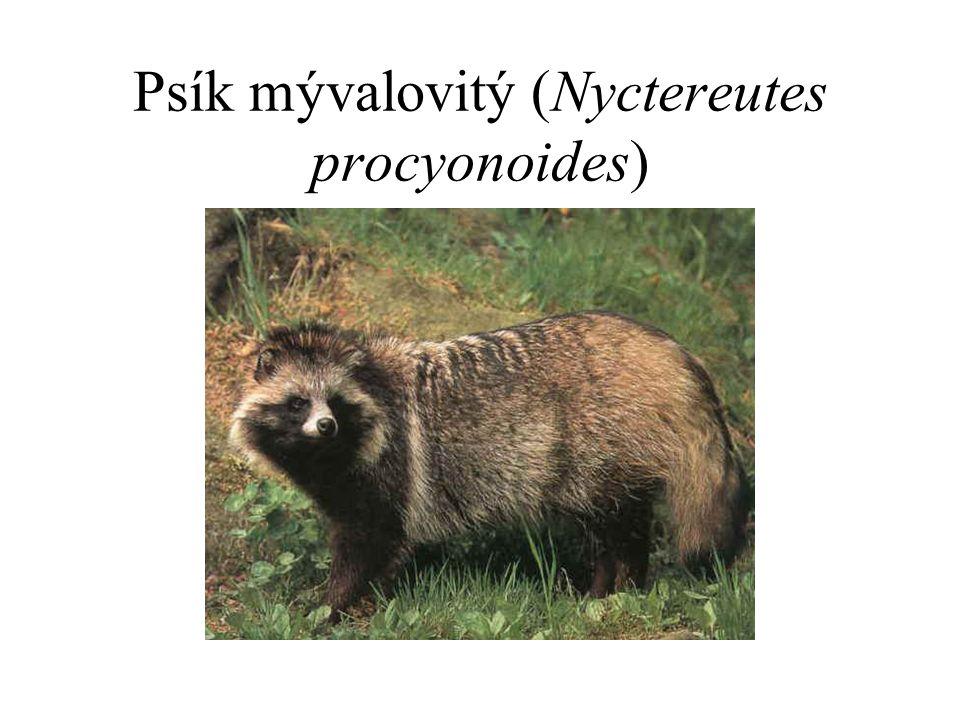 Psík mývalovitý (Nyctereutes procyonoides)