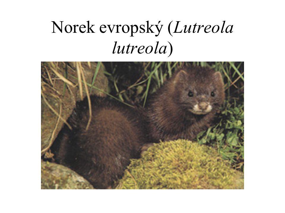 Norek evropský (Lutreola lutreola)