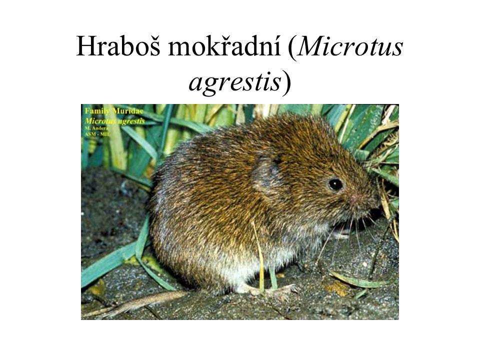 Hraboš mokřadní (Microtus agrestis)