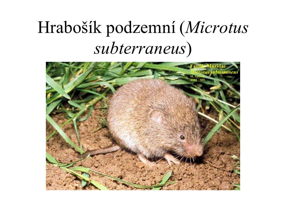 Hrabošík podzemní (Microtus subterraneus)