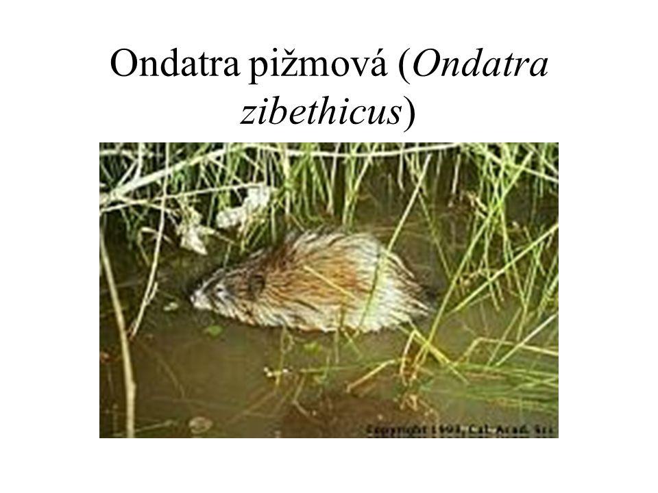 Ondatra pižmová (Ondatra zibethicus)