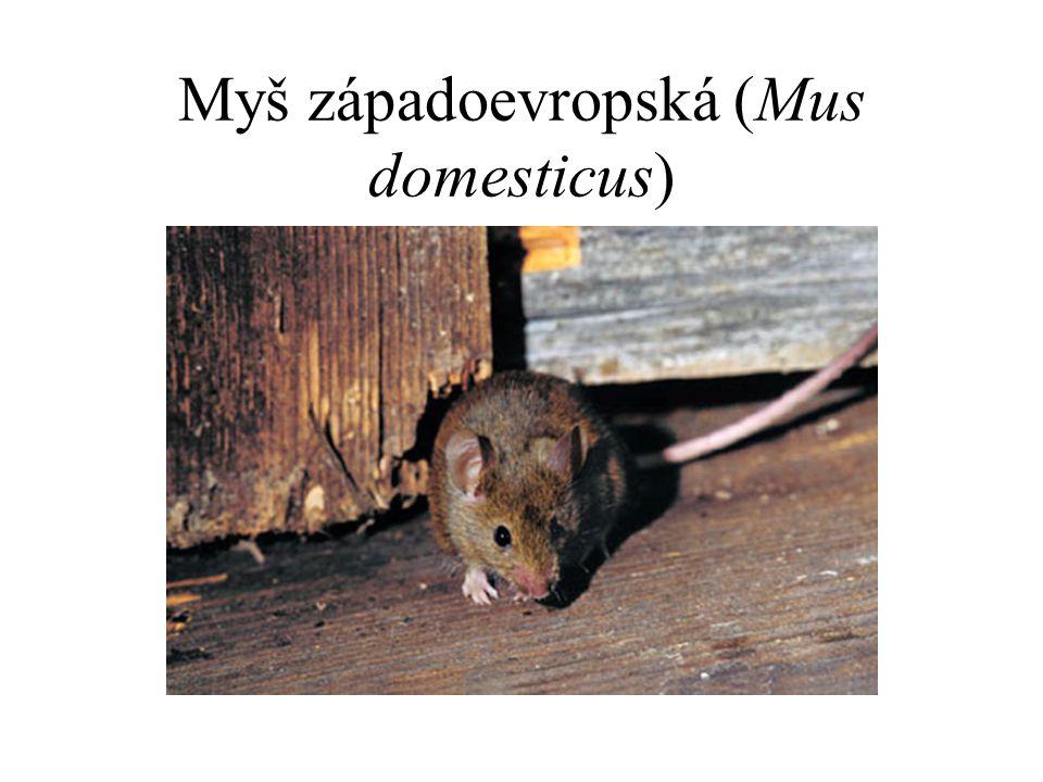 Myš západoevropská (Mus domesticus)