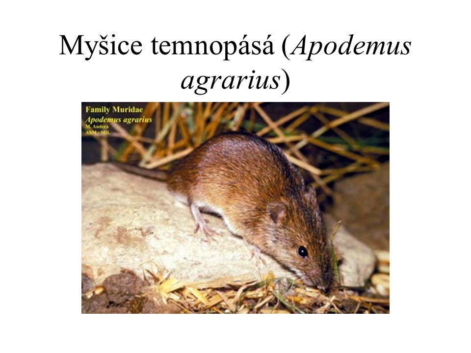 Myšice temnopásá (Apodemus agrarius)