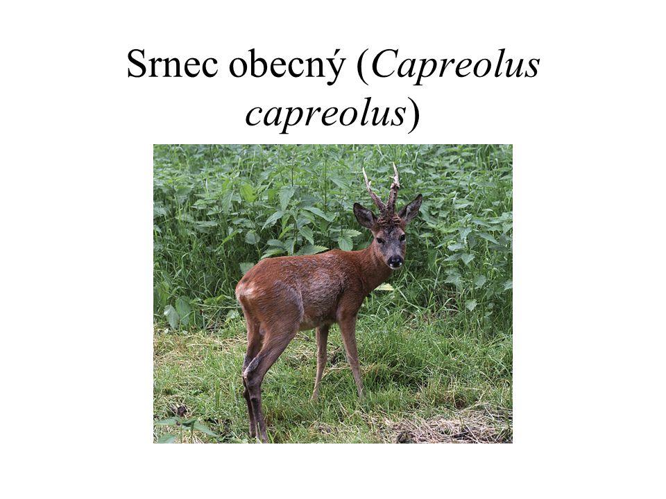 Srnec obecný (Capreolus capreolus)