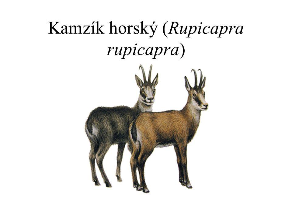 Kamzík horský (Rupicapra rupicapra)