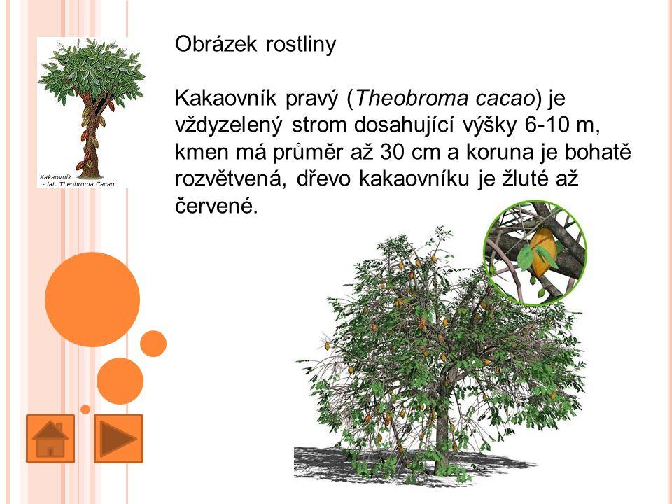 Obrázek rostliny Kakaovník pravý (Theobroma cacao) je vždyzelený strom dosahující výšky 6-10 m, kmen má průměr až 30 cm a koruna je bohatě rozvětvená, dřevo kakaovníku je žluté až červené.