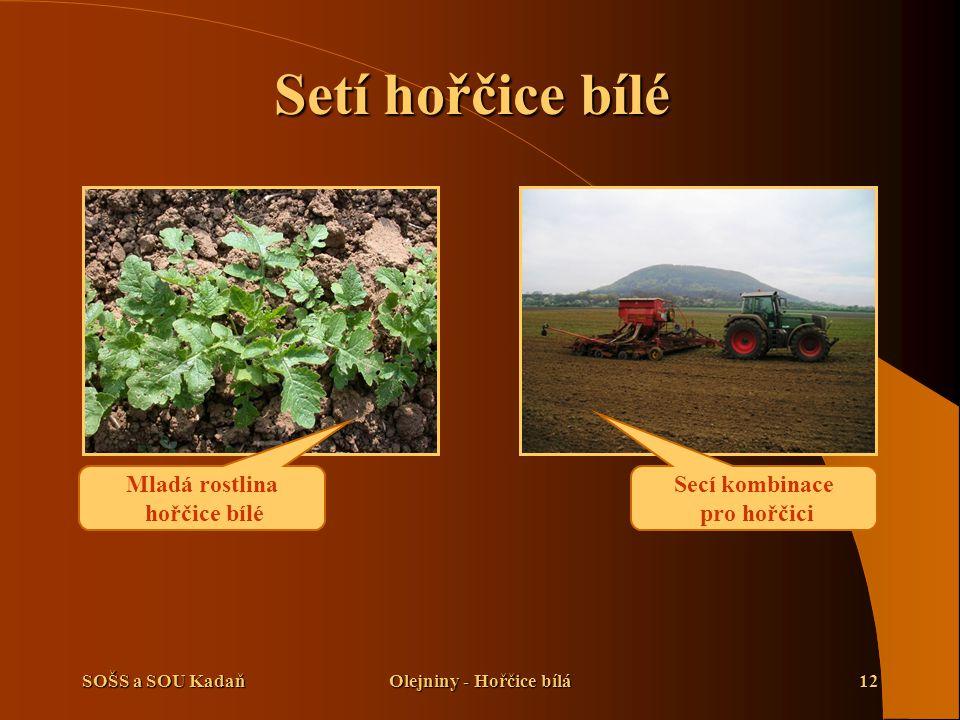 SOŠS a SOU KadaňOlejniny - Hořčice bílá12 Setí hořčice bílé Mladá rostlina hořčice bílé Secí kombinace pro hořčici