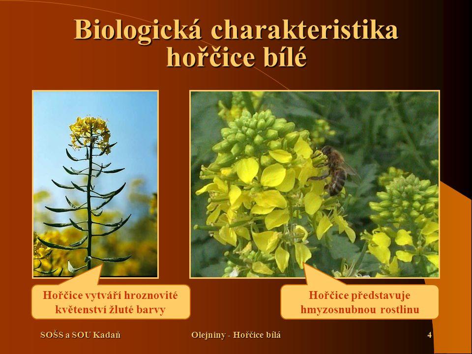 SOŠS a SOU KadaňOlejniny - Hořčice bílá4 Hořčice představuje hmyzosnubnou rostlinu Hořčice vytváří hroznovité květenství žluté barvy Biologická charakteristika hořčice bílé