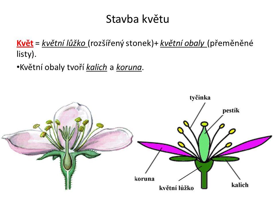 Stavba květu Květ = květní lůžko (rozšířený stonek)+ květní obaly (přeměněné listy). Květní obaly tvoří kalich a koruna.
