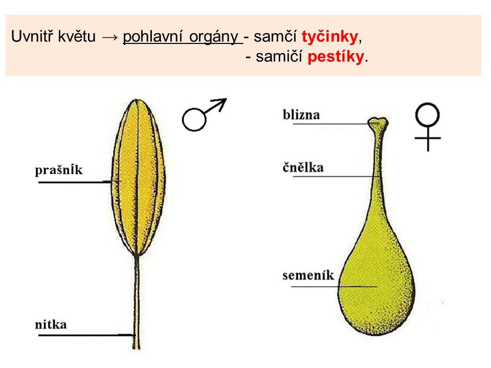 Uvnitř květu → pohlavní orgány - samčí tyčinky, - samičí pestíky.