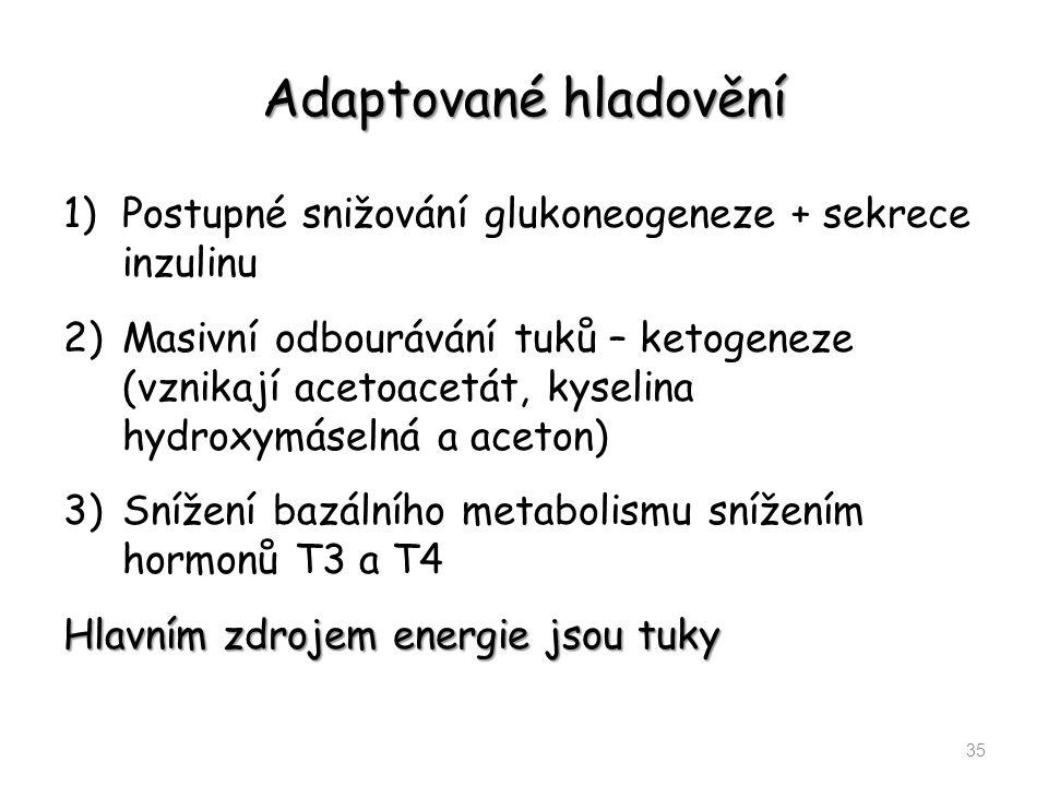 Adaptované hladovění 1)Postupné snižování glukoneogeneze + sekrece inzulinu 2)Masivní odbourávání tuků – ketogeneze (vznikají acetoacetát, kyselina hy
