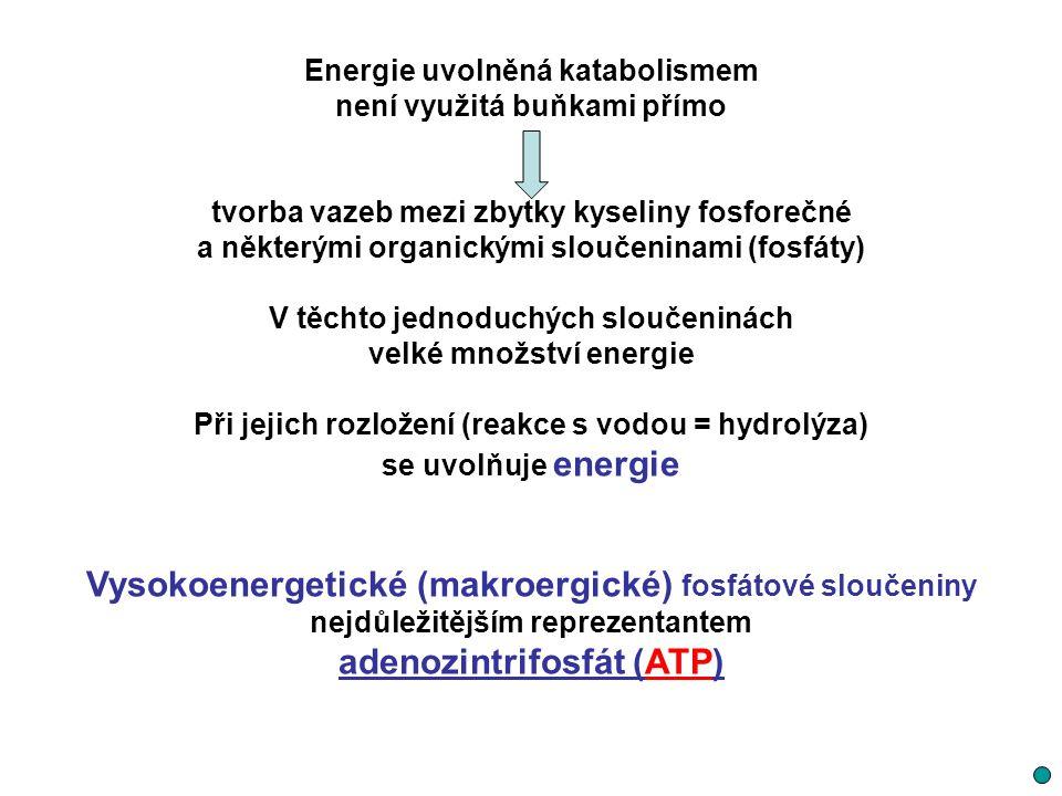 Energie uvolněná katabolismem není využitá buňkami přímo tvorba vazeb mezi zbytky kyseliny fosforečné a některými organickými sloučeninami (fosfáty) V