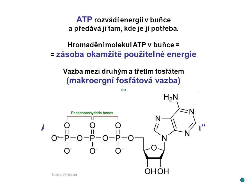 ATP rozvádí energii v buňce a předává ji tam, kde je jí potřeba. Hromadění molekul ATP v buňce = = zásoba okamžitě použitelné energie Vazba mezi druhý