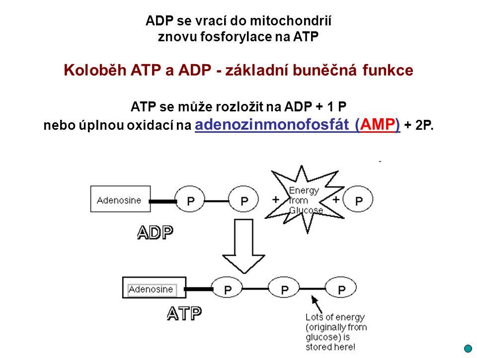 ADP se vrací do mitochondrií znovu fosforylace na ATP Koloběh ATP a ADP - základní buněčná funkce ATP se může rozložit na ADP + 1 P nebo úplnou oxidac