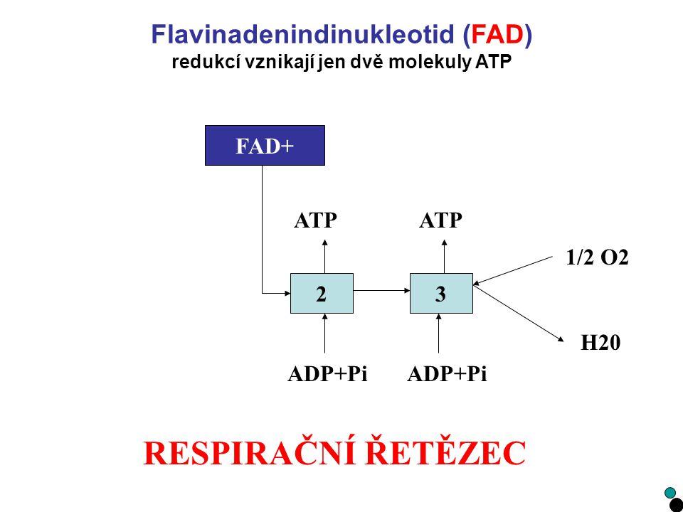 RESPIRAČNÍ ŘETĚZEC 23 1/2 O2 H20 ADP+Pi ATP FADH2FAD+ Flavinadenindinukleotid (FAD) redukcí vznikají jen dvě molekuly ATP