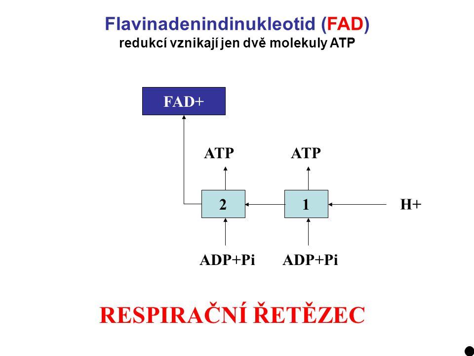 RESPIRAČNÍ ŘETĚZEC 21 H+ ADP+Pi ATP FADH2FAD+ Flavinadenindinukleotid (FAD) redukcí vznikají jen dvě molekuly ATP