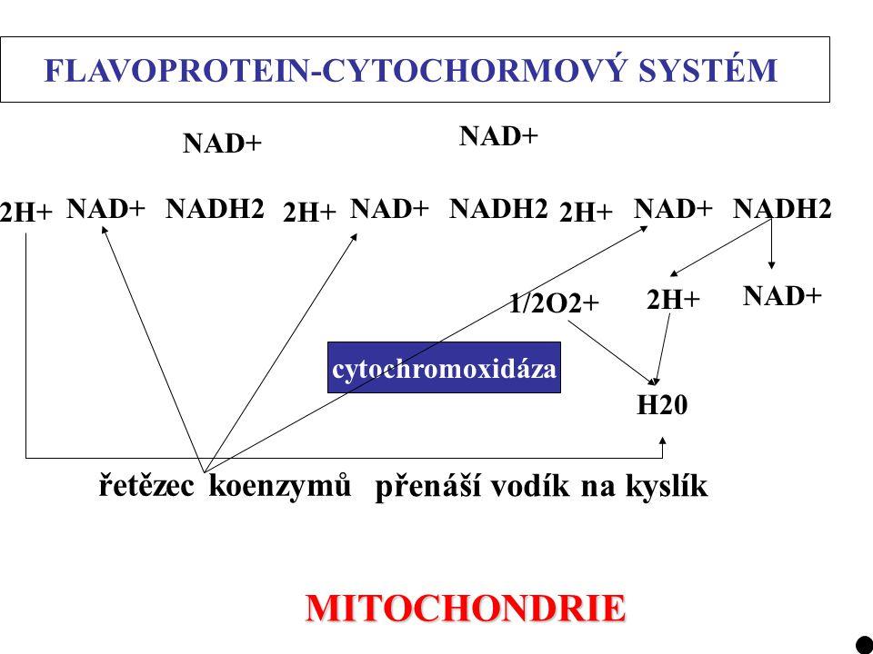 2H+ NAD+NADH2 2H+ NAD+ NADH2 NAD+ 2H+ 1/2O2+ H20 cytochromoxidáza FLAVOPROTEIN-CYTOCHORMOVÝ SYSTÉM řetězec koenzymů přenáší vodík na kyslík MITOCHONDR