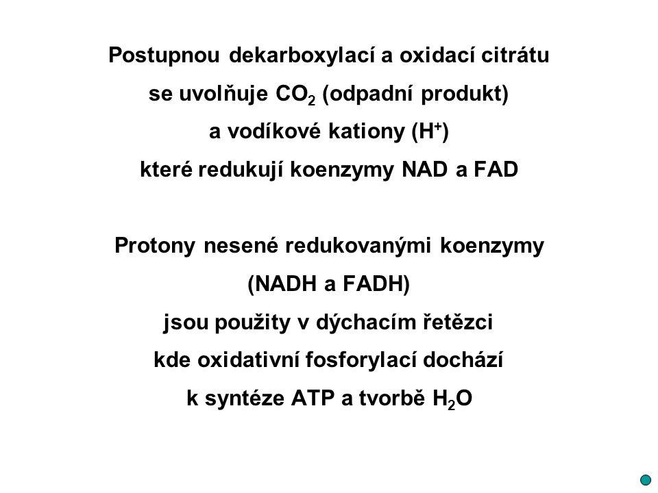 Postupnou dekarboxylací a oxidací citrátu se uvolňuje CO 2 (odpadní produkt) a vodíkové kationy (H + ) které redukují koenzymy NAD a FAD Protony nesen