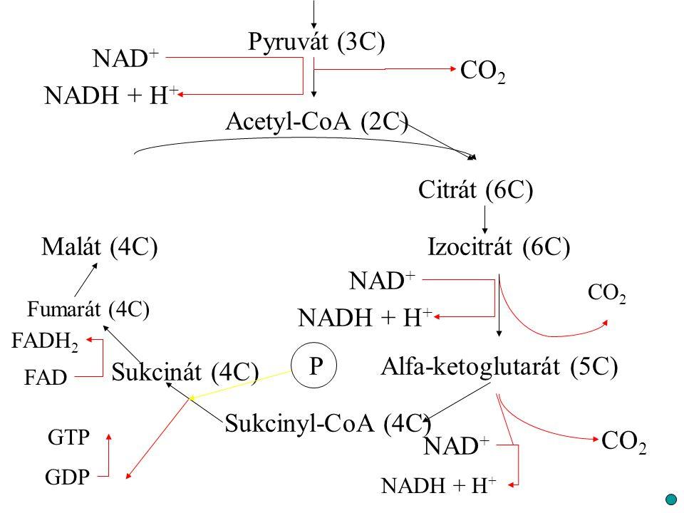 Pyruvát (3C) CO 2 NAD + NADH + H + Acetyl-CoA (2C) Citrát (6C) Izocitrát (6C) Alfa-ketoglutarát (5C) Sukcinyl-CoA (4C) Sukcinát (4C) Fumarát (4C) Malá