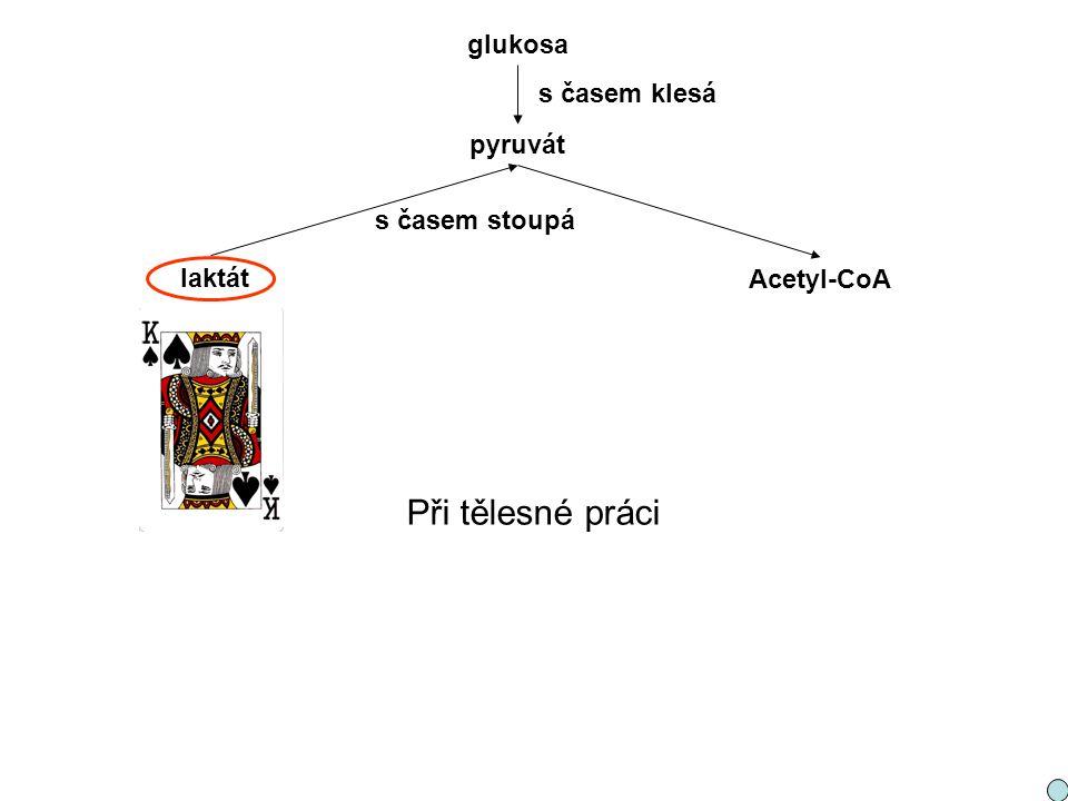 pyruvát laktát Acetyl-CoA glukosa s časem stoupá s časem klesá Při tělesné práci
