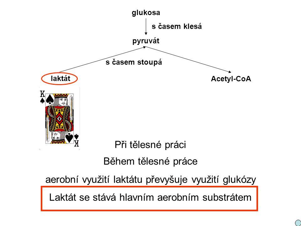 pyruvát laktát Acetyl-CoA glukosa s časem stoupá s časem klesá Při tělesné práci Během tělesné práce aerobní využití laktátu převyšuje využití glukózy