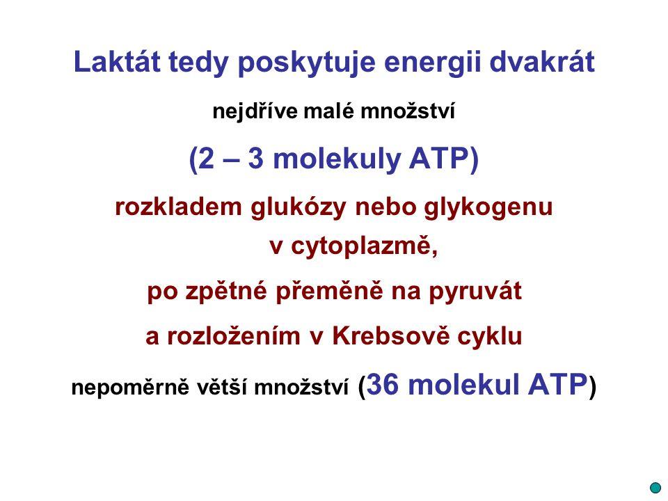 Laktát tedy poskytuje energii dvakrát nejdříve malé množství (2 – 3 molekuly ATP) rozkladem glukózy nebo glykogenu v cytoplazmě, po zpětné přeměně na