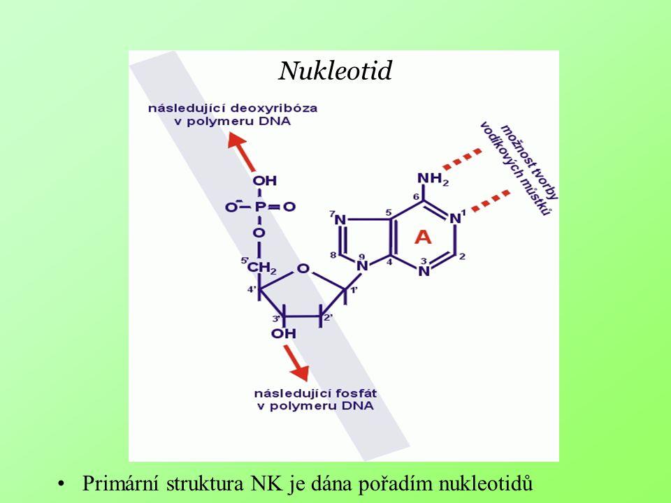 Nukleotid Primární struktura NK je dána pořadím nukleotidů