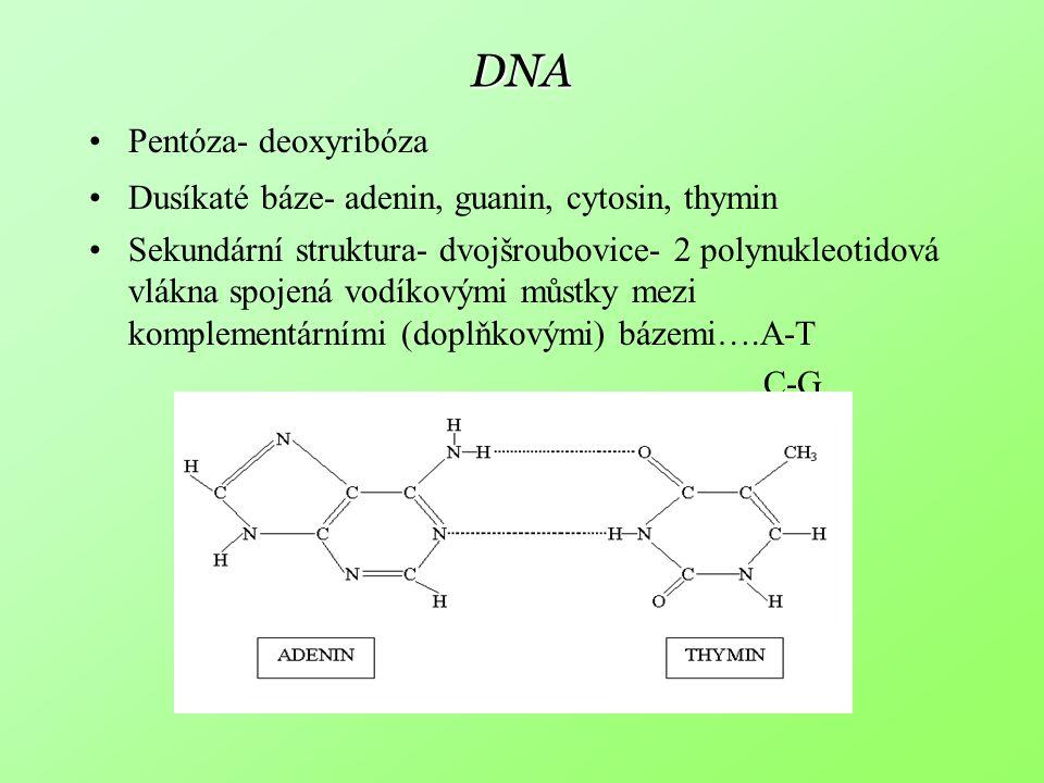 DNA Pentóza- deoxyribóza Dusíkaté báze- adenin, guanin, cytosin, thymin Sekundární struktura- dvojšroubovice- 2 polynukleotidová vlákna spojená vodíko