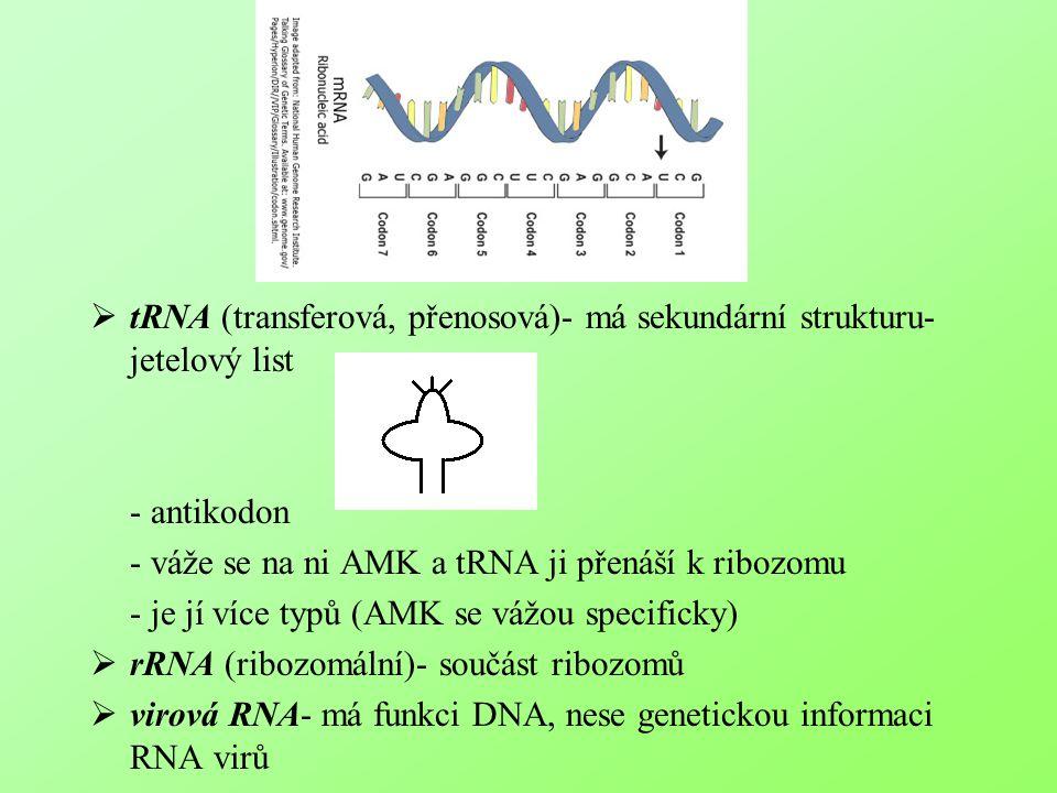  tRNA (transferová, přenosová)- má sekundární strukturu- jetelový list  - antikodon  - váže se na ni AMK a tRNA ji přenáší k ribozomu  - je jí víc
