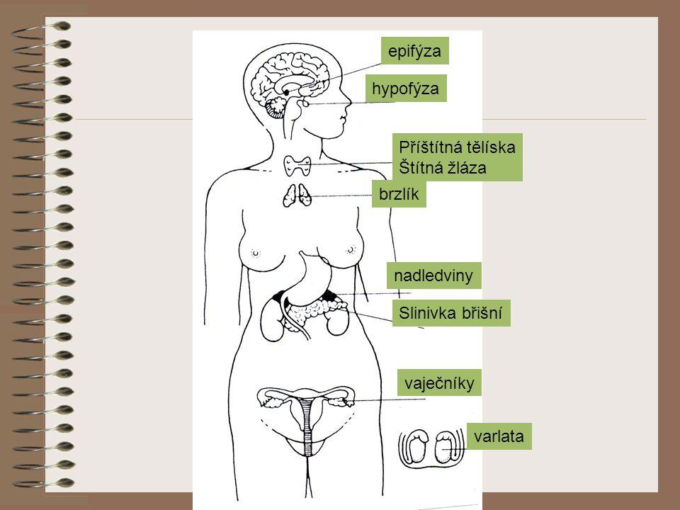 epifýza hypofýza Příštítná tělíska Štítná žláza brzlík nadledviny Slinivka břišní vaječníky varlata