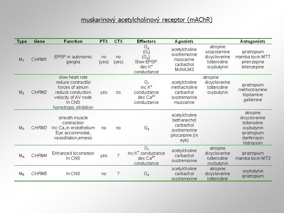 muskarinový acetylcholinový receptor (mAChR)