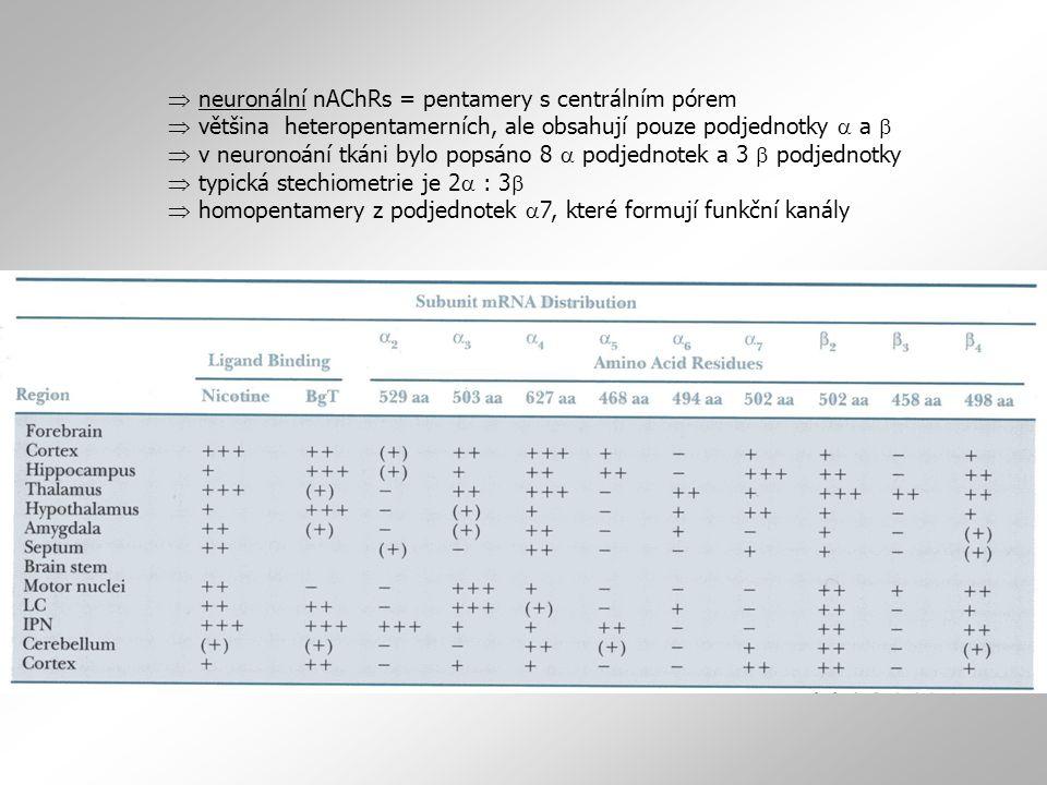  neuronální nAChRs = pentamery s centrálním pórem  většina heteropentamerních, ale obsahují pouze podjednotky  a   v neuronoání tkáni bylo popsán