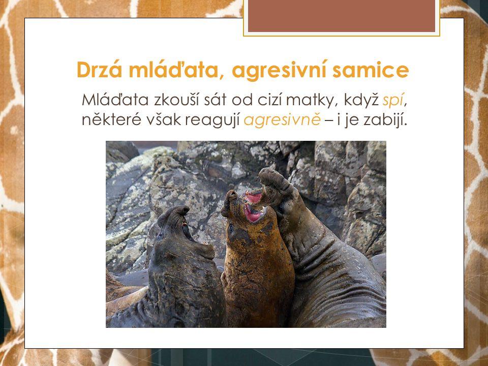 Drzá mláďata, agresivní samice Mláďata zkouší sát od cizí matky, když spí, některé však reagují agresivně – i je zabijí.
