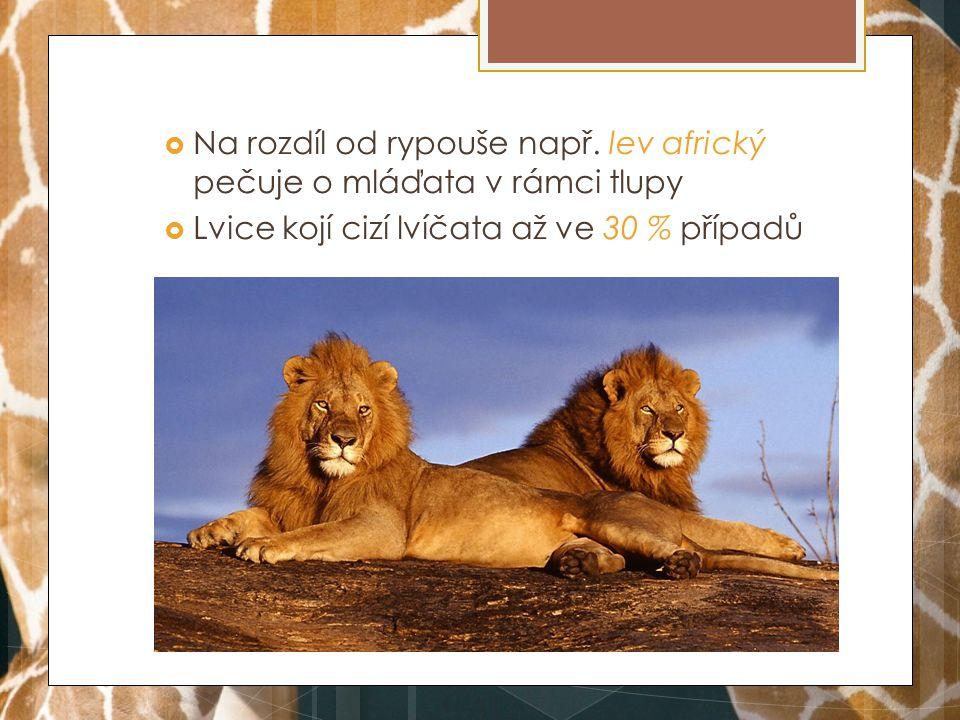  Je známé, že se lvíčata pokoušejí o kojení u spících cizích matek  Lvice se také otírají a lízají všechna mláďata, tedy i ty nevlastní → péče  Lvice odmítají cizí mláďata častěji než vlastní, ale nejsou agresivní