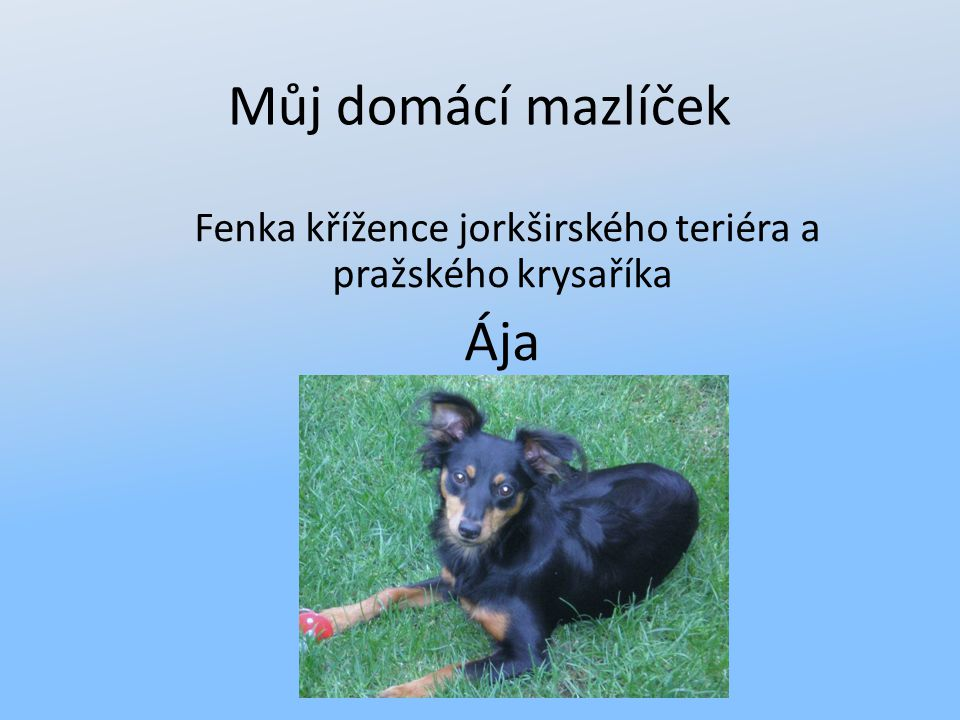 Můj domácí mazlíček Fenka křížence jorkširského teriéra a pražského krysaříka Ája