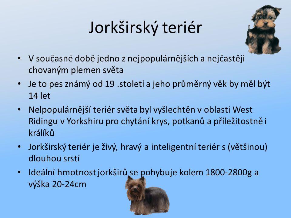 Jorkširský teriér V současné době jedno z nejpopulárnějších a nejčastěji chovaným plemen světa Je to pes známý od 19.století a jeho průměrný věk by mě