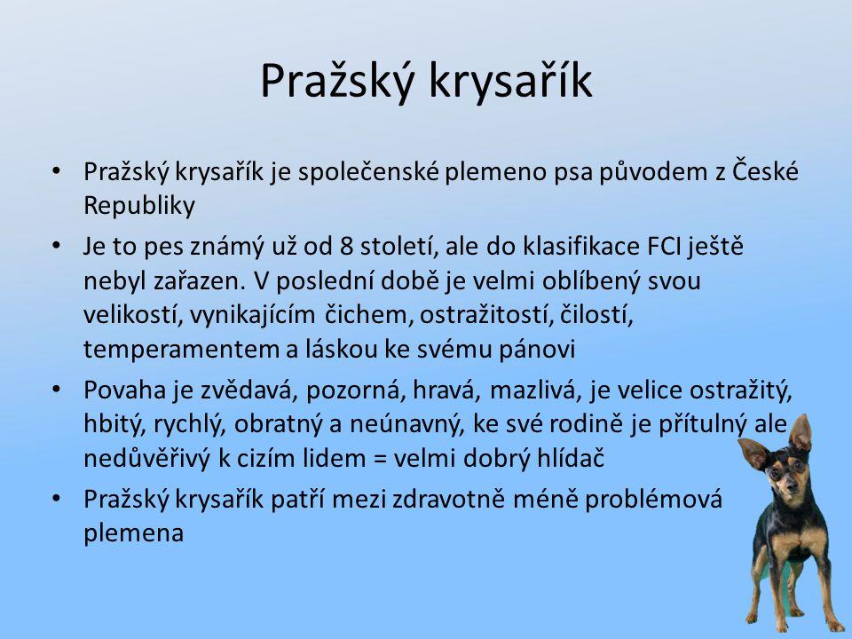 Pražský krysařík Pražský krysařík je společenské plemeno psa původem z České Republiky Je to pes známý už od 8 století, ale do klasifikace FCI ještě n