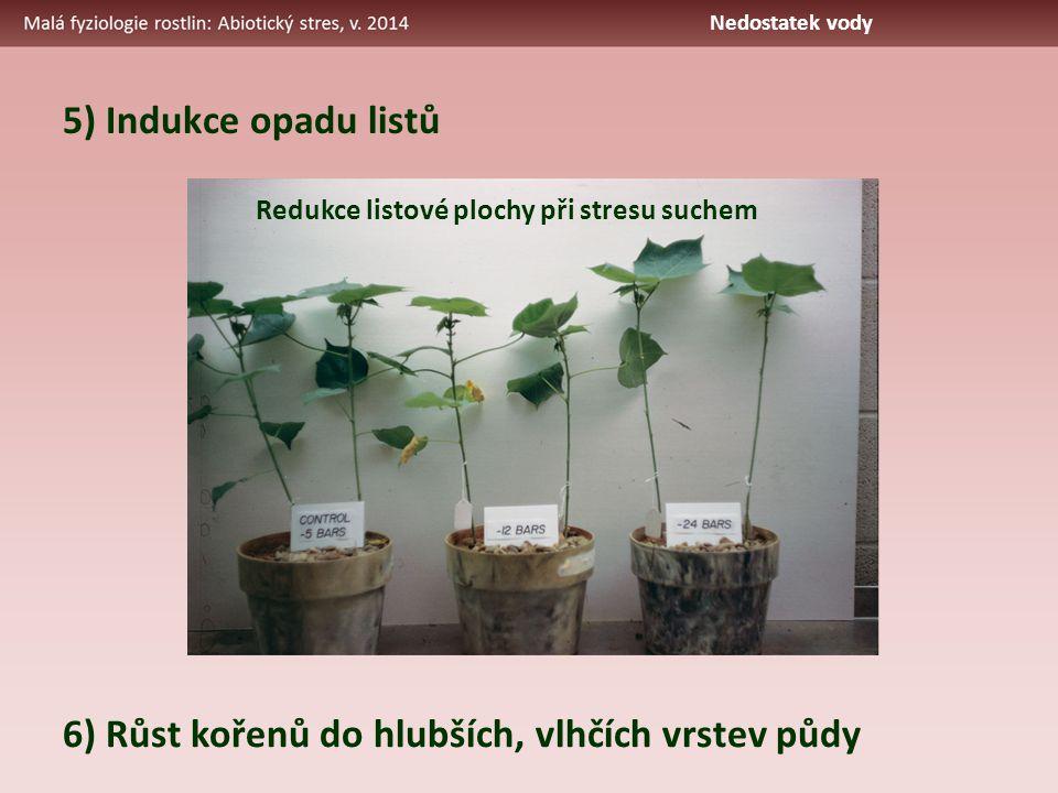 5) Indukce opadu listů Redukce listové plochy při stresu suchem 6) Růst kořenů do hlubších, vlhčích vrstev půdy Nedostatek vody